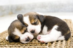 Beagles puppy love